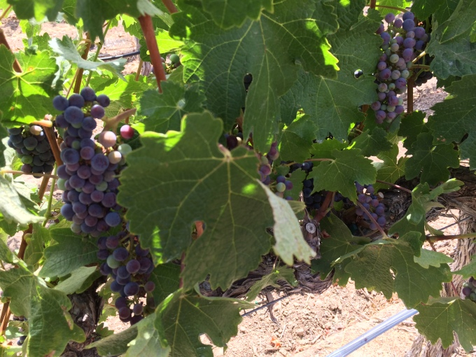 Cabernet Sauvignon at McGrail Vineyards