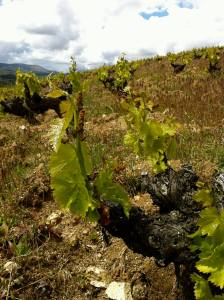 Old-vine, high-elevation Garnacha, the source of grapes for the Bodega Don Juan del Águila Gaznata Joven (photo courtesy of New Spain Wines)